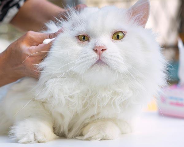 cat groomer ear care