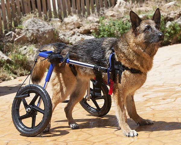 shepherd hip dysplasia